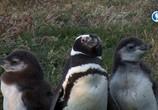 ТВ Альбатрос и хохлатый пингвин / The Albatross and the Rockhopper Penguin (2018) - cцена 3