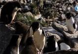 ТВ Альбатрос и хохлатый пингвин / The Albatross and the Rockhopper Penguin (2018) - cцена 8
