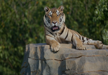 ТВ Тигры: Охота на браконьеров / Tigers: Hunting the Traffickers (2020) - cцена 3