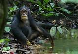 Сцена из фильма Шимпанзе / Chimpanzee (2012) Шимпанзе сцена 6