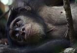 Сцена из фильма Шимпанзе / Chimpanzee (2012) Шимпанзе сцена 2
