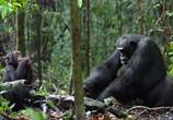 Сцена из фильма Шимпанзе / Chimpanzee (2012) Шимпанзе сцена 4