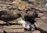 ТВ Альбатрос и хохлатый пингвин / The Albatross and the Rockhopper Penguin (2018) - cцена 6